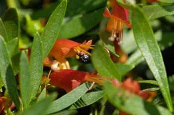 Eremophila bee